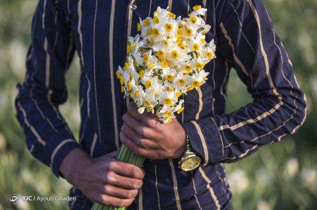 نرگس زارهای روستای نوآباد از توابع شهرستان مهر استان فارس