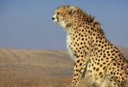 چند برابر شدن مشاهده یوزها در پارک ملی توران