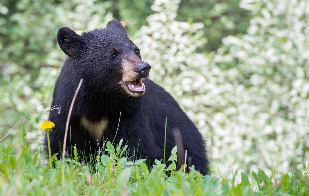 خرس سیاه آسیایی در نیکشهر مشاهده شد
